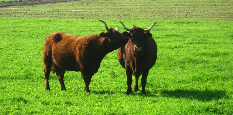 le second effet kiss cow