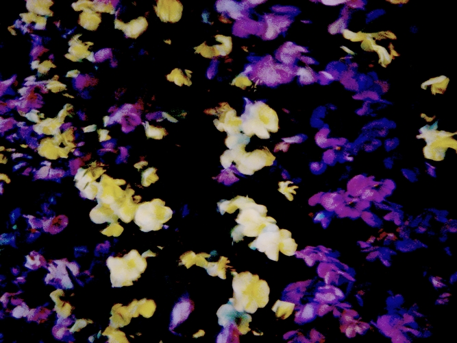 les fleurs de la nuit