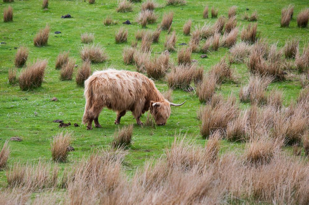 vache en mode camouflage